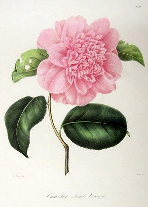 Camellia Lond Creuii