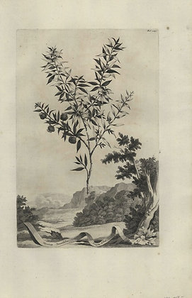 Plate 032: Myrtus tenuifolia fructu albo