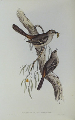 Plate 310: Drymodes Brunneopygia