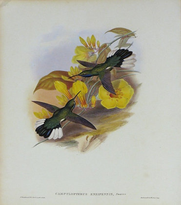 Plate 046: Campylopterus Ensipennis