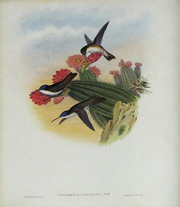 Plate 285: Cyanomyia Violiceps