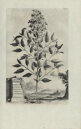 Plate 057: Jasminum Persicum pallido coeruleum