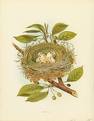 Plate 05: Kingbird