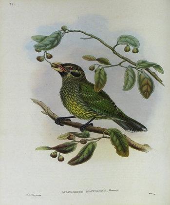 Plate 138: Ailuroedus Maculosus