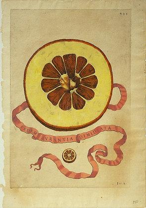 Plate 435: Eadem Aurantia Dimidiata