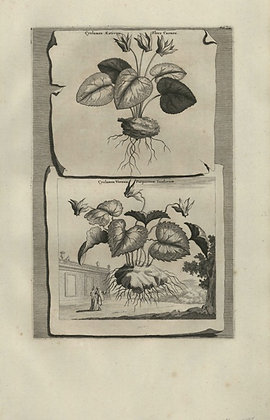Plate 146: Cyclamen aestivum flore carneo,