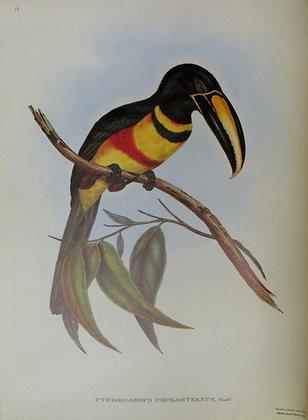 Plate 18: Pteroglossus Poecilosternus