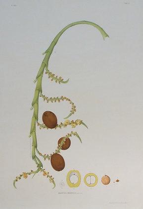 Plate 103: Mauritia Limnophila