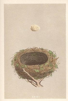 Plate 121: Blackcap Warbler