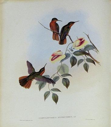 Plate 051: Campylopterus Hyperythrus