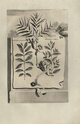 Plate 050: Phyllirea argentea, aurea,