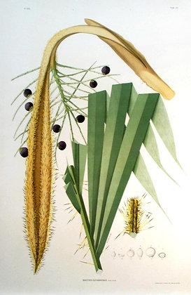 Plate 238: Bactris Cuyabaensis