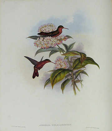 Plate 307: Amazilia Corallirostris