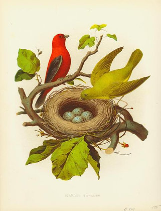 Plate 13: Scarlet Tanager