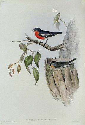 Plate 306: Petroica Phoenicea