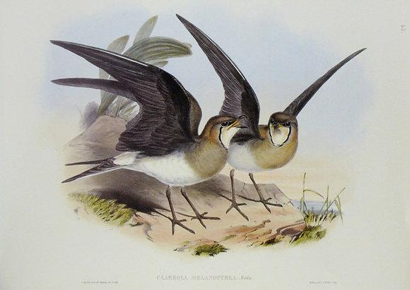 Plate 763: Glareola Melanoptera
