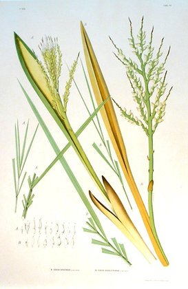 Plate 174: A. Cocos Apaensis