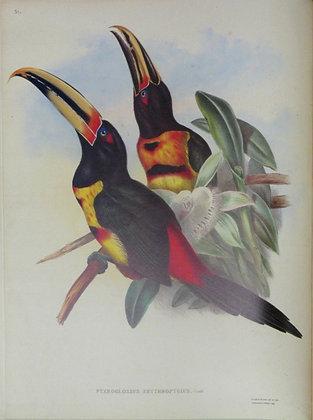 Plate 21: Pteroglossus Erythropygius