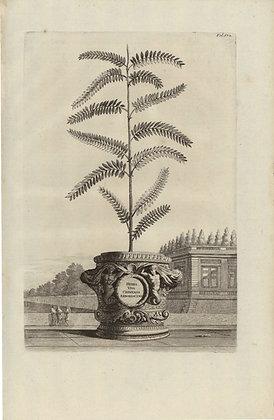 Plate 178: Herba viva Chinensis arborescens