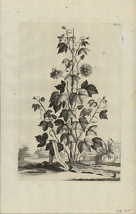 Plate 161: Clematis passiflora hederacea flore lut