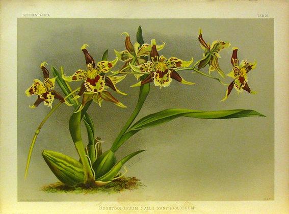 Plate 028: Odontoglossum Hallii xanthoglossum