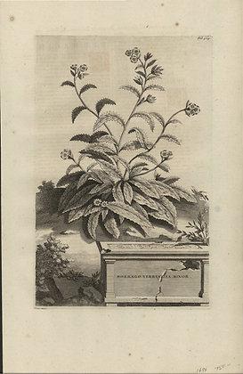 Plate 116: Borrago verrucosa minor