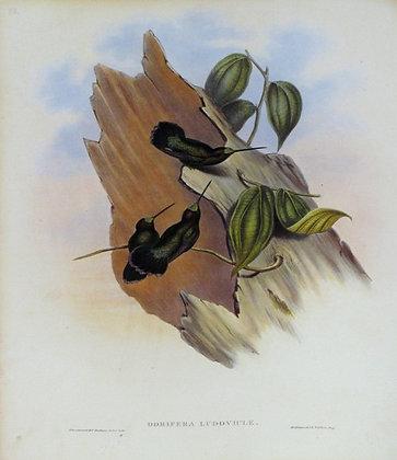 Plate 088: Doryfera Ludoviciae