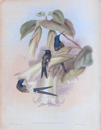 Plate 042: Eupetomena hirundinacea