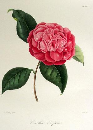 Camellia Perfecta