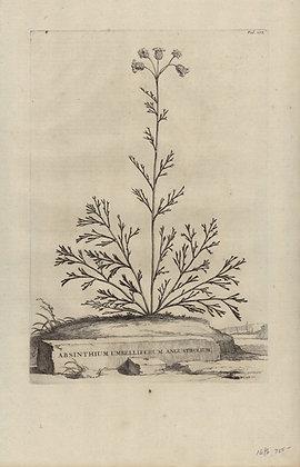 Plate 071: Absinthium umbelliferum angustifolium