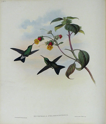 Plate 332: Eucephala Chlorocephala