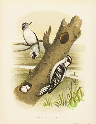 Plate 09: Downy Woodpecker
