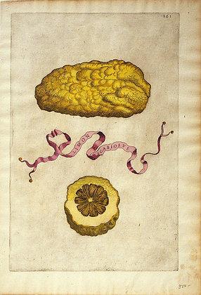 Plate 261: Limon Scabiosus