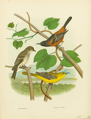 Plate 53: Wood Pewee and Orchard Orioles