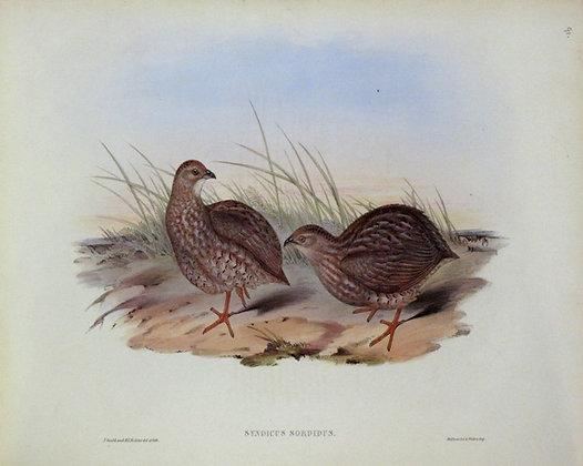 Plate 591: Synoicus Sordidus