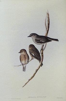 Plate 308: Petroica Fusca