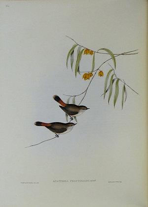 Plate 356: Acanthiza Uropygialis