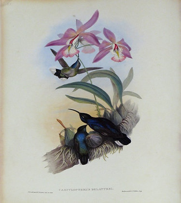 Plate 045: Campylopterus Delattrei