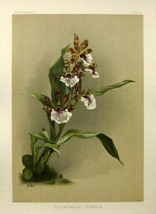 Plate 173: Zygopetalum Crinitum