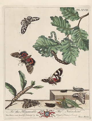 Plate 018 Greasy Fritillary Butterfly