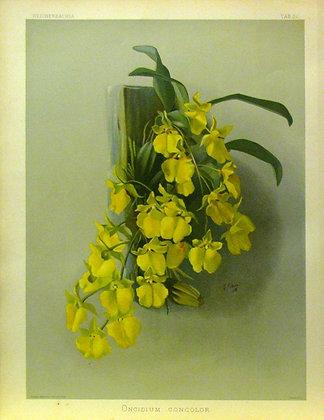 Plate 030: Onicidium concolor