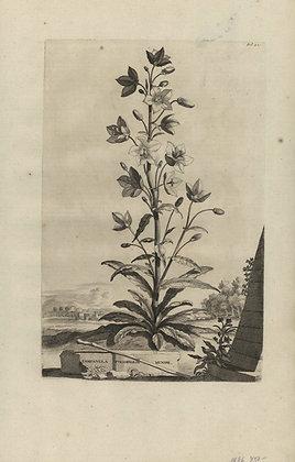 Plate 123: Campanula pyramidalis minor