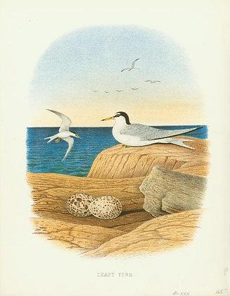 Plate 30: Least Tern