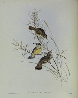 Plate 351: Sericornis Maculatus