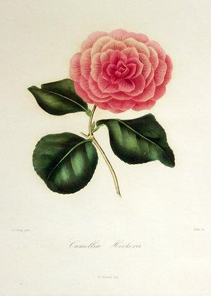 Camellia Calciatti