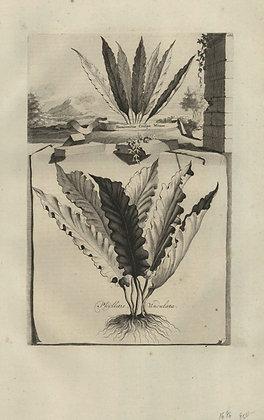 Plate 081: Phyllitis undulata, Hemionitis crispa