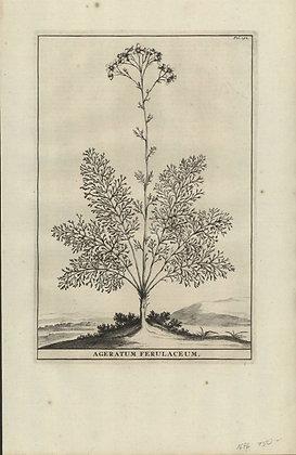 Plate 087: Ageratum ferulaceum