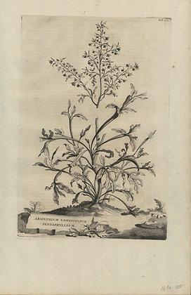 Plate 070: Absinthium longifolium pentaphylleum