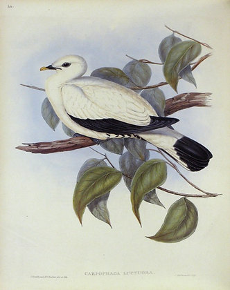 Plate 560: Carpophaga Luctuosa
