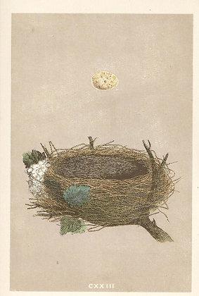 Plate 123: Garden Warbler Pettychaps